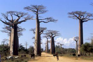 Avenue du Baobab, Morondava